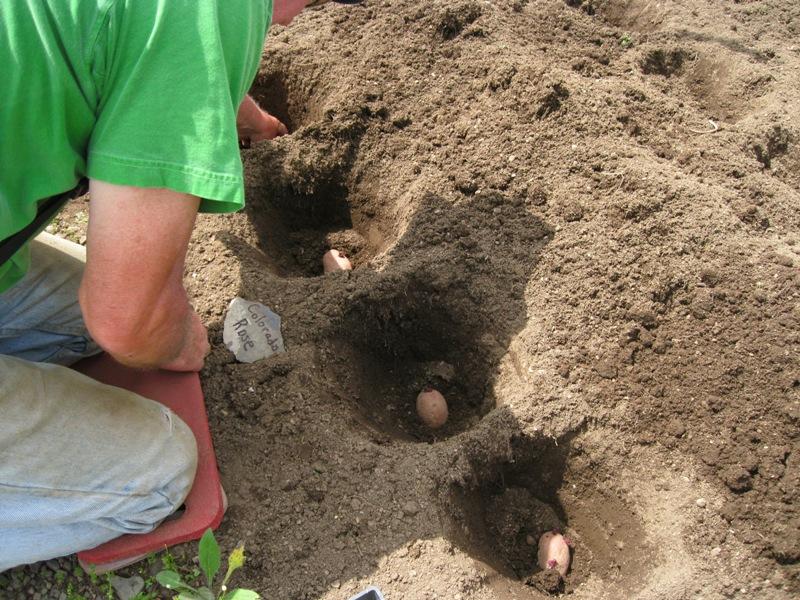 Как удобрять картошку амиачной селитрой?