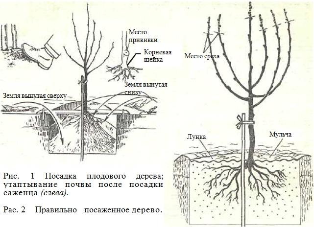 Как правильно сажать фруктовое дерево
