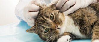 Как правильно чистить уши кошкам