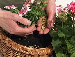 подкормка домашних растений в осенне-зимний период один-два раза в месяц